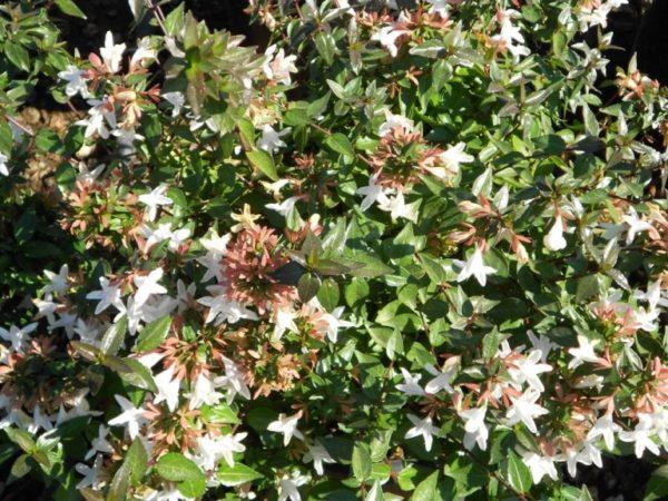 Abelia grandiflora – abelija
