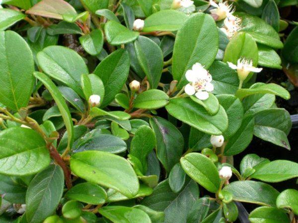 Cotoneaster dammeri var. radicans – puzava mušmulica