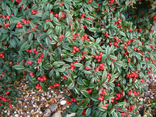 Cotoneaster salicifolius – vrbolisna mušmulica