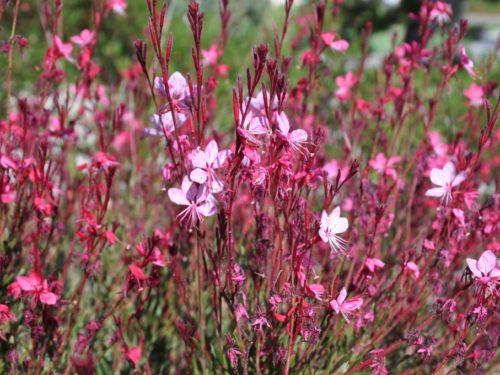 Gaura lindheimeri - gaura roza