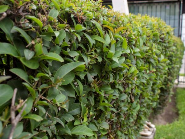 Ligustrum japonicum - japanska kalina