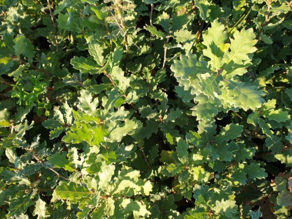 Quercus pubescens Willd. – hrast medunac